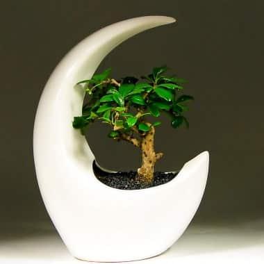 Бонсай Кармона в белом Лунная Соната