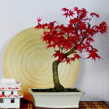 Бонсай Клен Японский Красный