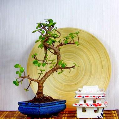 Бонсай Порталукария Денежное дерево