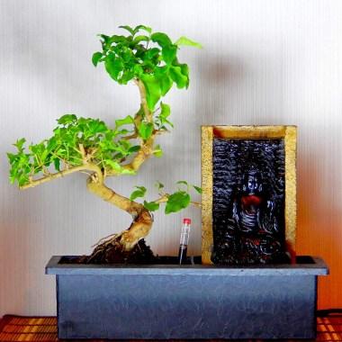 Бонсай Лигуструм Водопад Будды автополив