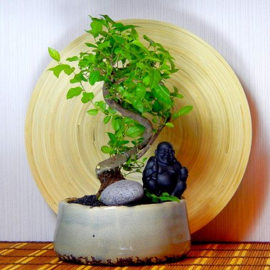 Бонсай Сагеретия Будда с Камнем