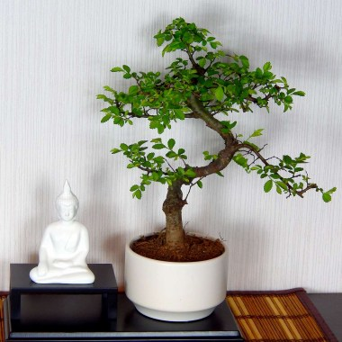 Бонсай Вяз Будда