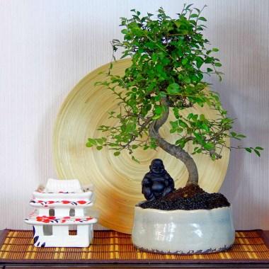 Бонсай Вяз с Буддой